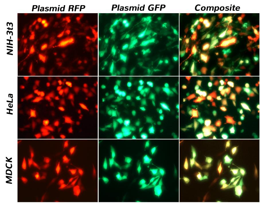 CRISPR Cas9质粒在NIH-3T3,HeLa和MDCK细胞上的转染
