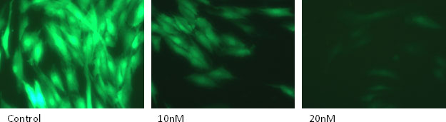 siRNA targeting GFP with Lullaby Stem transfection reagent